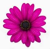 African Daisy Royalty Free Stock Photography