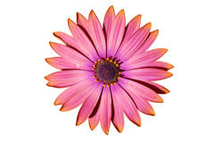 African Daisy isolated on white Royalty Free Stock Photos