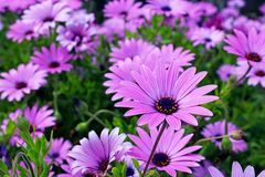 African daisy meadow in full bloom stock photo