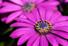 African Daisy (Osteospermum) Royalty Free Stock Photography
