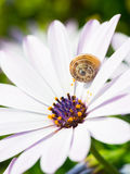 African daisy Osteospermum Stock Image