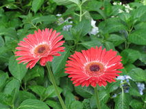 African Daisy Red flowers in Saigon Park. Red-flowered African Daisy - Saigon park Stock Image