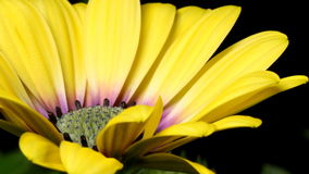 African Daisy Time-lapse