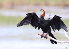 African Darter Stock Photos