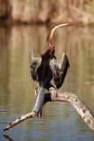 African Darter. Standing on a log drying its wings Royalty Free Stock Photography