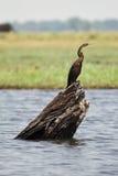 African Darter. Safari Chobe, Botswana royalty free stock photo