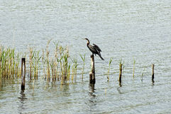 African Darter Stock Images