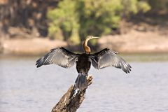 African Darter. On Chobe River in Botswana royalty free stock photography