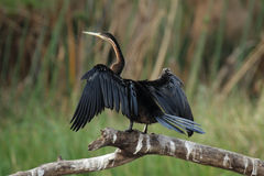 African Darter Royalty Free Stock Photo