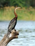 African Darter (Anbinga malenogaster). African Darter at a lake in South Africa Royalty Free Stock Photos