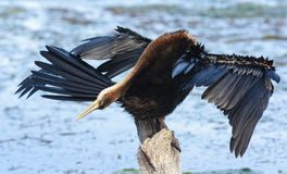 African Darter - Anhinga melanogaster - water bird Stock Photos
