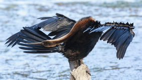 African Darter - Anhinga melanogaster - water bird Stock Photo