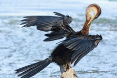 African Darter - Anhinga melanogaster - water bird Royalty Free Stock Photos