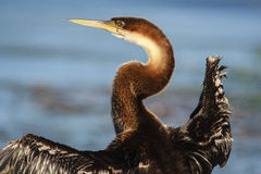 African Darter - Anhinga melanogaster - water bird Royalty Free Stock Photo