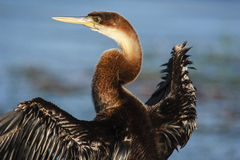 African Darter - Anhinga melanogaster - water bird Royalty Free Stock Images