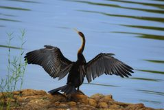 African Darter (Anhinga rufa) stock photography
