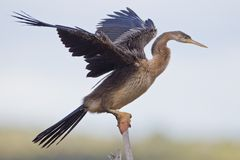 African darter (anhinga rufa) Royalty Free Stock Photography