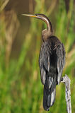 African Darter (Anhinga rufa) Stock Photos