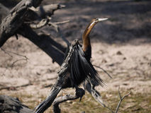 African Darter. (Anhinga rufa) in Chobe National Park, Botswana Stock Photo