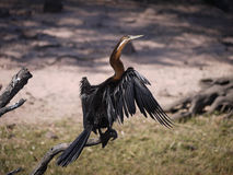 African Darter. (Anhinga rufa) in Chobe National Park, Botswana Royalty Free Stock Photos