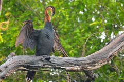 African Darter (Anhinga rufa) Royalty Free Stock Images