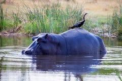 African darter, Anhinga rufa, sitting on the back of Hippopotamus, Hippopotamus amphibius,   Botswana Royalty Free Stock Image