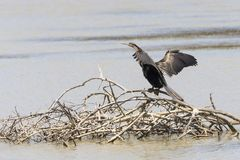 African Darter Anhingo rufa perched on branches submerged in rural dam in Western Cape, South Africa. Wings outstretched drying. After diving for fish royalty free stock images