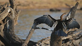 African Darter drying stock video footage