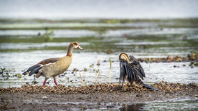 African Darter and Egyptian goose in Kruger National park, South Stock Photography