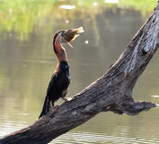 African Darter with a fish Stock Photos