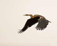 African Darter in flight. An African Darter shows it´s impressive wings in flight royalty free stock images