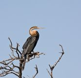 African Darter in The Gambia Stock Image