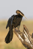 African darter in great sunlight Stock Photography