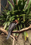 African Darter known as Anhinga rufa rufa Stock Photos