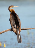 African Darter looking right Stock Image