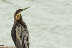 African Darter perched on a stump Stock Images