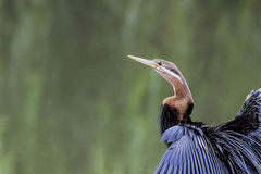 African Darter perched on a stump Royalty Free Stock Photo