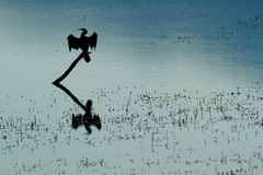 African darter silhouette Stock Photos