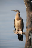 African darter sitting on branch dry itself after fishing Stock Photos