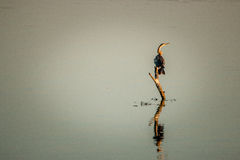 African darter sitting on a branch in the water. Royalty Free Stock Photos