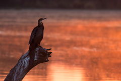 African darter sitting on tree stump in pond at sunset Stock Image