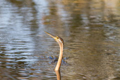 African darter snakebird swimming Stock Images