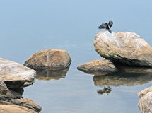 African Darter on a stone in waterside ambiance Stock Images