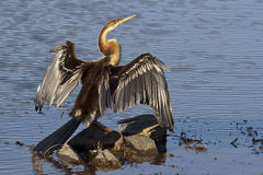 African Darter Stock Photo