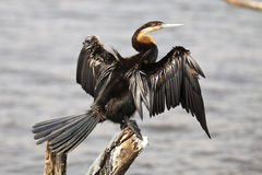 African Darter sunning wings. African Darter sunning its wings Stock Photos