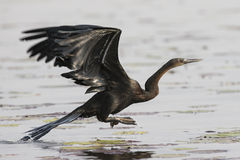 An African darter taking flight. In South Africa royalty free stock image