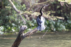 African Darter That Sits On A Dry, Submerged Tree On Lake Victor Royalty Free Stock Photo