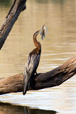 African darter with tilapia catch Stock Photos