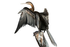African Darter on white (clipping path) Stock Image