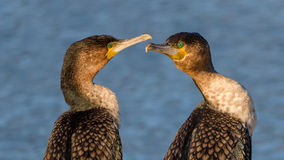 African Darters stock photography